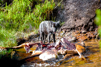 (�2012) Grey Wolf (Canyon Pack)